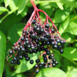Stock Photo: Some ripe elderberry on branch