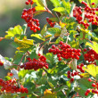 Stock Photo: Some ripe viburnum on branch, DOF