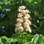 Spring blossoming chestnut (Castanea sativa) flower — Stock Photo