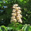 Stock Photo: Spring blossoming chestnut (Castanesativa) flower