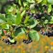 Stock Photo: Black ashberry (Aronimelanocarpa)