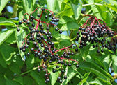 Some ripe elderberry on branch — Stock Photo