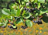 Black ashberry (Aronia melanocarpa) — Stock Photo