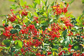 Some ripe viburnum on branch, DOF — Stock Photo