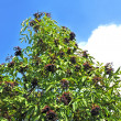 Stock Photo: Ripe elderberry on branch