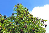 Ripe elderberry on branch — Stock Photo