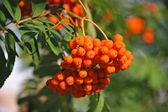 Rowan berries, Mountain ash (Sorbus) — Stock Photo