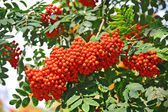 Rowan berries, Mountain ash (Sorbus) — Stock Photo