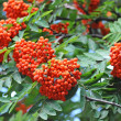 Rowan berries, Mountain ash (Sorbus) — Stockfoto #50746389