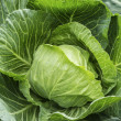 Close up of growing cabbage — Stock Photo