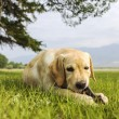 The beautiful puppy of retriever gnaws branch — Stock Photo