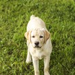 Stock Photo: Beautiful young retriever