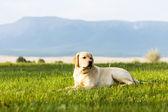 Young dog of golden retriever — Stock Photo