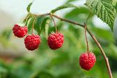 Berry framboos op achtergrond sappig groen gebladerte in zonlicht — Stockfoto