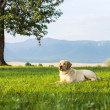 The golden retriever lies under tree — Stock Photo