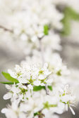 Blossoming branch of apple-tree in sunny day — Stock Photo
