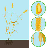 Wheat as a plant — Stock Vector
