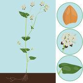 Buckwheat — Stock Vector