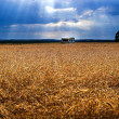 Stock Photo: Gold field
