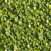 Ivy. Seamless Texture. — Stock Photo