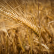 Ears of wheat. Toning. — Stock Photo #29233059