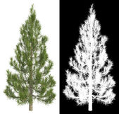Fir-tree Isolated on White Background. — Stock Photo