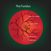 Illustration of human fundus. — Stock Photo