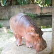 Hippo — Stock Photo #18536609