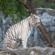 WHITE TIGER - Foto de Stock