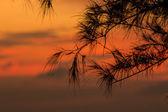 Pine — 图库照片