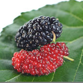 Mulberry — Stock Photo