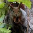 Squirrel sits on tree — Stock fotografie #37191425