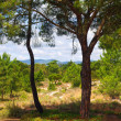 Two pine trees - Foto Stock