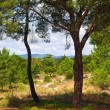 Two pine trees - Stok fotoraf