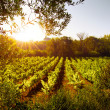 Stock Photo: Vineyard at Sunset