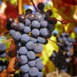 Bunch of Grapes — Stock Photo #13898411