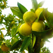 Lemon Branch — Photo