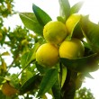 Lemon Branch - Stock Photo