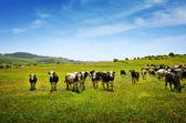 Vacas em pastoreio — Foto Stock