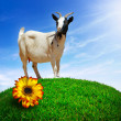 White Goat — Foto Stock