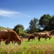 Bovine Cattle — Stock Photo