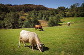 Bovine Cattle — Stock Photo