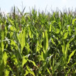 Corn grown in the vicinity of Berlin — Stock Video #13823139