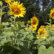 Sunflowers in the vicinity of Berlin, Germany — Vidéo