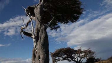 The wind shaped trees in Ushuaia in Tierra del Fuego — Vídeo Stock