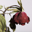 Sad Dead or Wilting Red Rose on White — Stock Photo #12571533