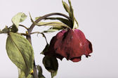 Sad Dead or Wilting Red Rose on White — Stock Photo
