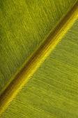 Banana leaf — Stock Photo