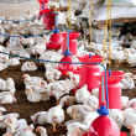 granja de cría de aves de corral — Foto de Stock