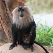 Stock Photo: Endangered and threatened endemic monkey of indi- lion-tailed